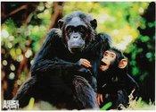 Sienos dekoracija stiklinė 50x35 cm Šimpanzės AP112
