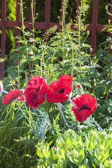 Dekoratyvinė gėlė Aguona (18) PS02336-RED/BK h 94 cm
