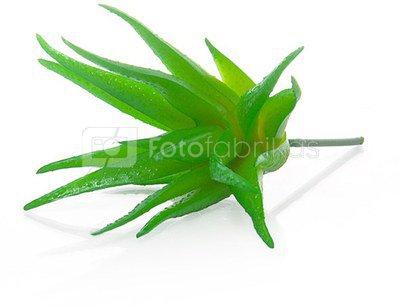 Dekoratyvinis augalas Sukulentas 9 cm HR16289 SAVEX