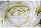 Drobė Rožė balta 60*90