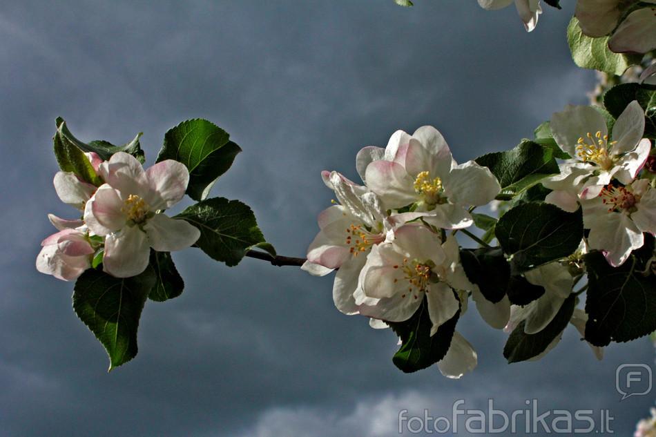 Obels žydėjimas