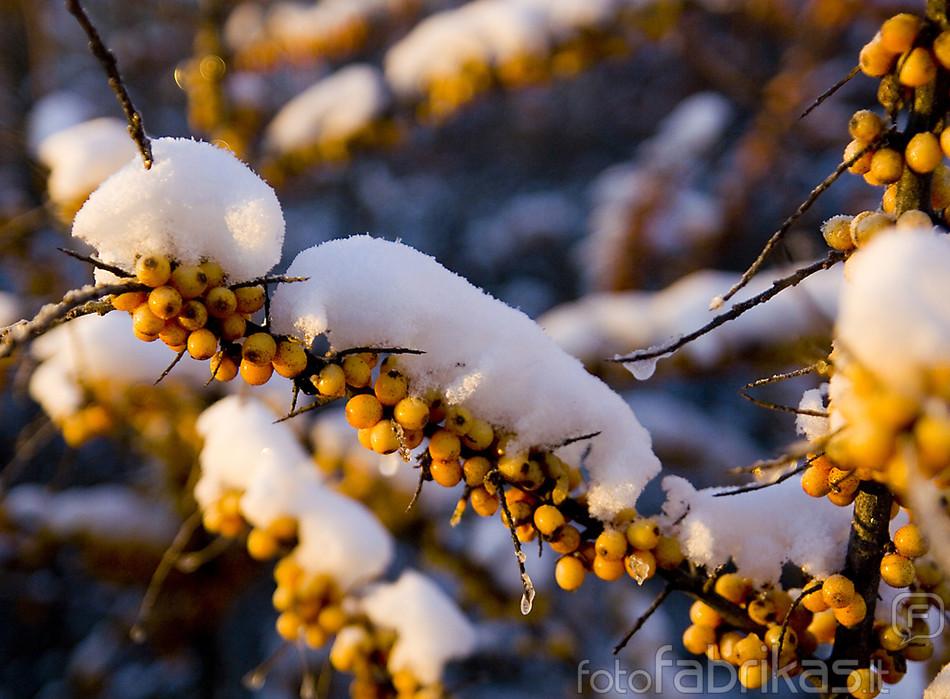 Šaltalankių vikšrai