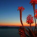 Nakties gėlės