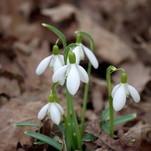 Snieguolės - pirmosios pavasario gėlės