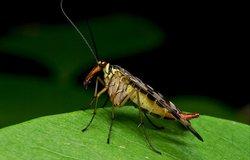 skorpionmusė